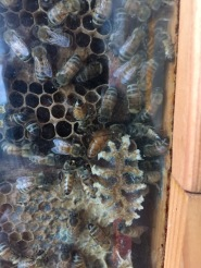 Queen of the Selkirk College Observation Hive