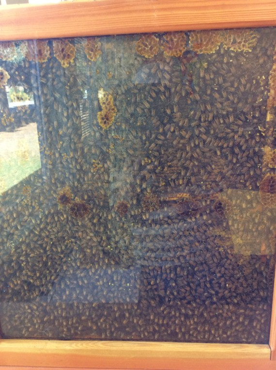 Rossland school : Oct 15 thriving hive going into winter-our happy bees.